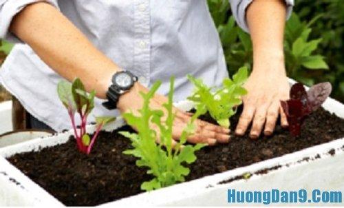 Dạy cách trồng rau sạch bằng thùng xốp