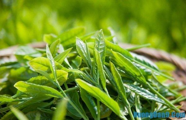 Nguyên liệu làm bột trà xanh