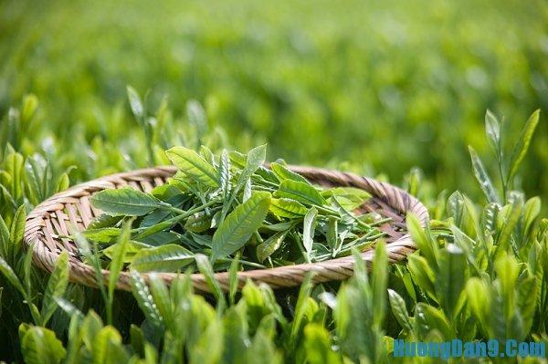 Trị mụn ở trán bằng tinh dầu trà xanh