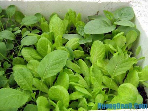 Tự trồng rau sạch trong thùng xốp tại nhà