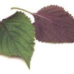 Hướng dẫn cách điều trị mụn cóc hiệu quả bằng lá tía tô