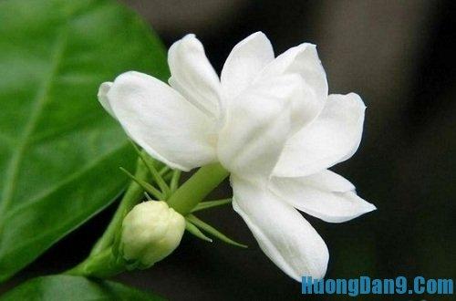 Hướng dẫn cách chữa mất ngủ hiệu quả bằng hoa nhài