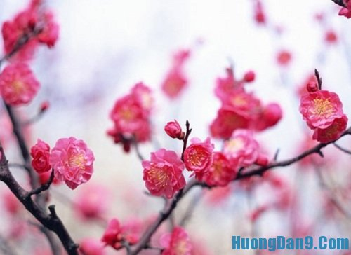 Hướng dẫn cách giữ hoa đào tươi lâu trong ngày Tết