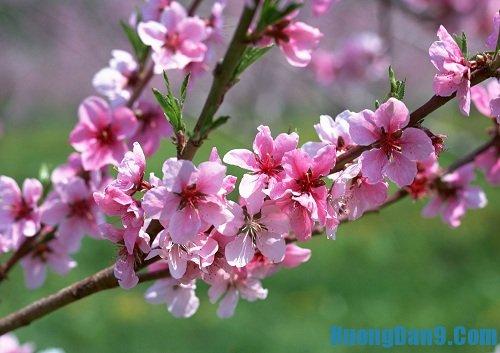 Hướng dẫn chi tiết cách giữ hoa đào tươi lâu cho ngày tết