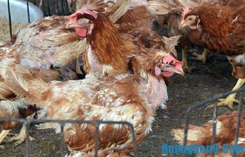 Hướng dẫn chi tiết cách phân biệt gà ta và gà Trung Quốc